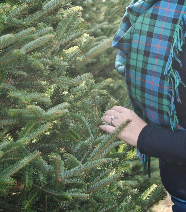 Hunting the perfect Christmas tree - check needle loss for sign of healthy tree