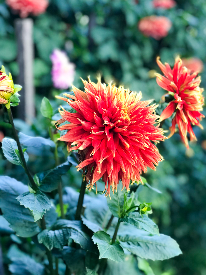 Bright orange and yellow dahlia - about Katherine of Pender & Peony