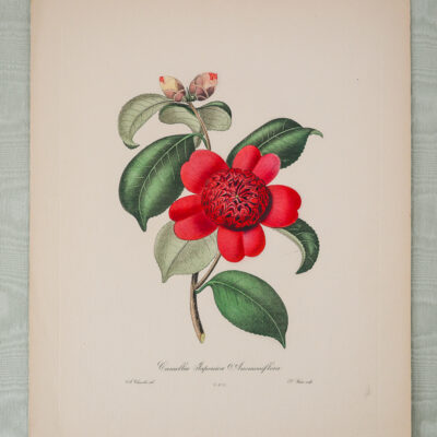 Camellia Japonica Engraving after Alfred Chandler