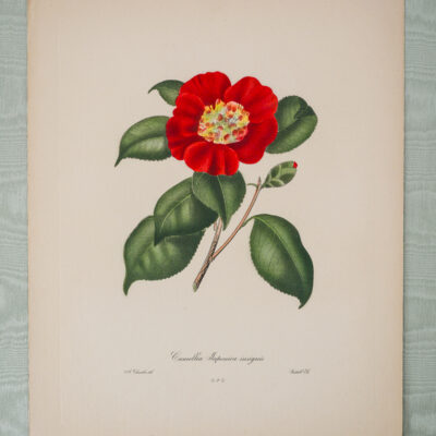 Red Camellia Japonica Engraving after Alfred Chandler