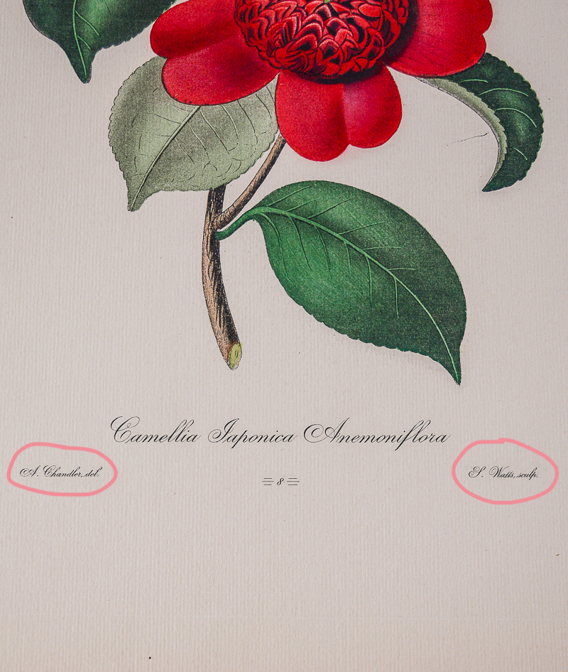 Camellia engraving showing the artist and print maker markings at bottom of image