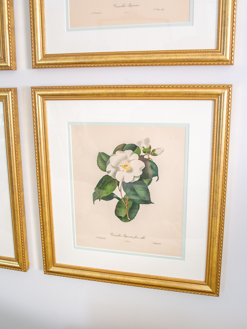 Engraved print of white camellia in gold Granby frame - Camellia Japonica Flore Albo