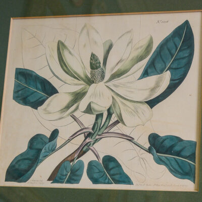 Ear-leaved magnolia No. 1206 Curtis engraving